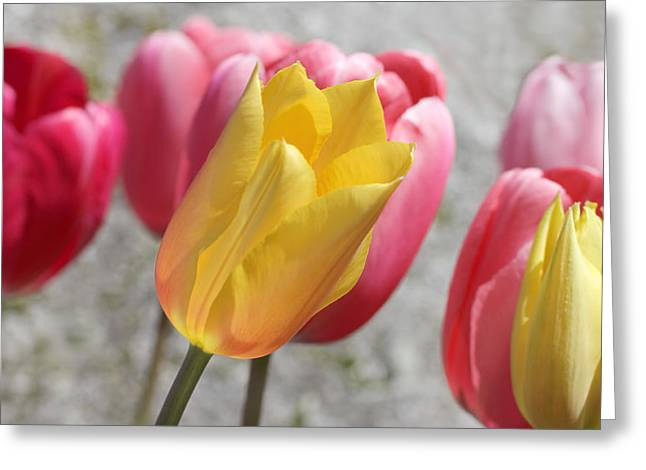 Light Grey Greeting Cards - Spring Tulip Flowers Greeting Card by Jennie Marie Schell