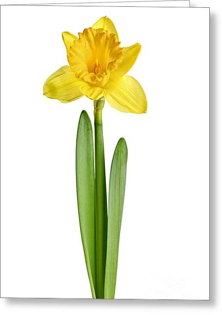 Easter Flowers Greeting Cards - Spring yellow daffodil Greeting Card by Elena Elisseeva