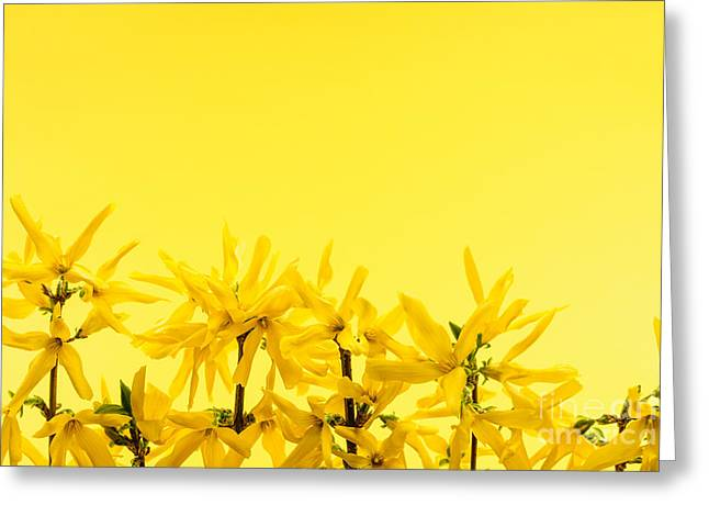Yellow Line Greeting Cards - Spring yellow forsythia  Greeting Card by Elena Elisseeva