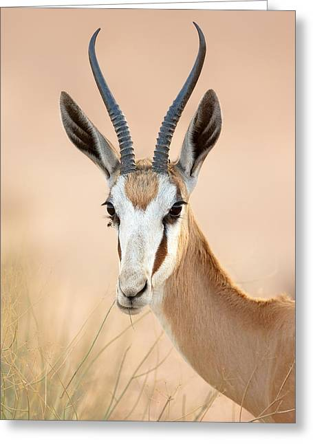 Chewing Greeting Cards - Springbok portrait Greeting Card by Johan Swanepoel