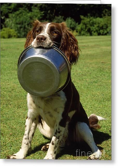 Begging Bowl Greeting Cards - Springer Spaniel Dog Greeting Card by James Marchington