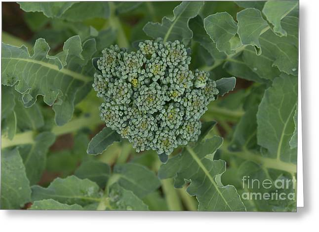 Broccoli Greeting Cards - Sprouting Broccoli Head Greeting Card by Diana Jo Marmont