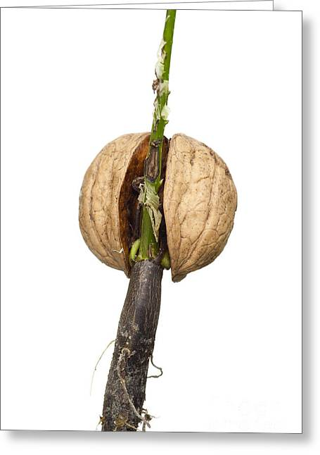 Germinate Greeting Cards - Sprouting Nut Greeting Card by Michal Boubin