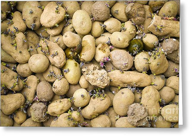 Asexual Reproduction Greeting Cards - Sprouting Potatoes Greeting Card by Veronique Leplat