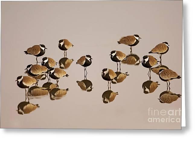 Lapwing Greeting Cards - Spur-winged Lapwing Vanellus spinosus Greeting Card by Eyal Bartov