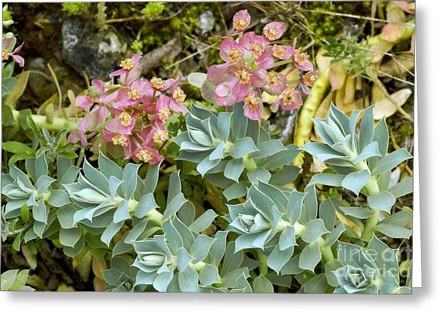 Spurge Greeting Cards - Spurge Euphorbia Myrsinites Greeting Card by Bob Gibbons