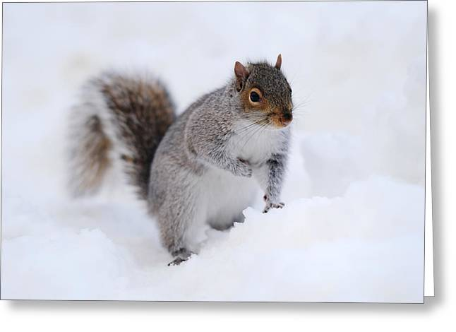 Gray Hair Greeting Cards - Squirrel with snow in winter Greeting Card by Songquan Deng