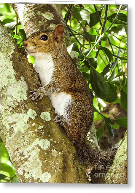 Sciurus Carolinensis Greeting Cards - Squirrel					 Greeting Card by Zina Stromberg