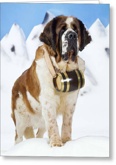 St. Bernard Dog Greeting Card by John Daniels