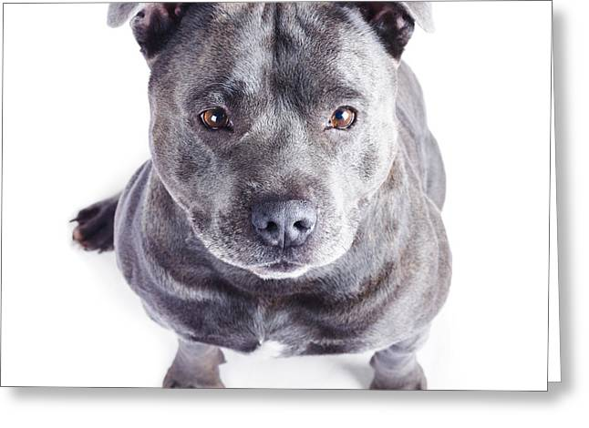 Staffie Greeting Cards - Staffordshire Bull Terrier Greeting Card by Ryan Jorgensen