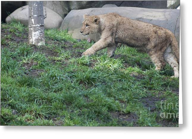 Lion Greeting Cards - Stalking Practice Greeting Card by Mandy Judson