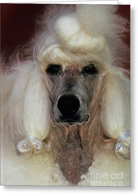 Working Dog Greeting Cards - Standard Poodle Groomed For A Dog Show Greeting Card by Ron Sanford