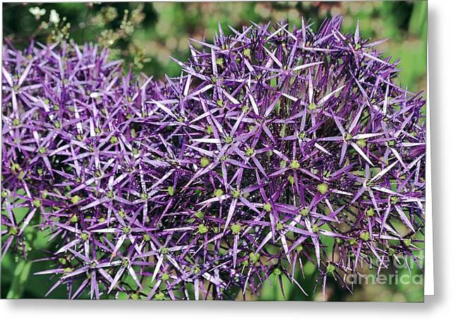 Dew Covered Flower Greeting Cards - Star Of Persia Allium Cristophii Greeting Card by Colin Varndell