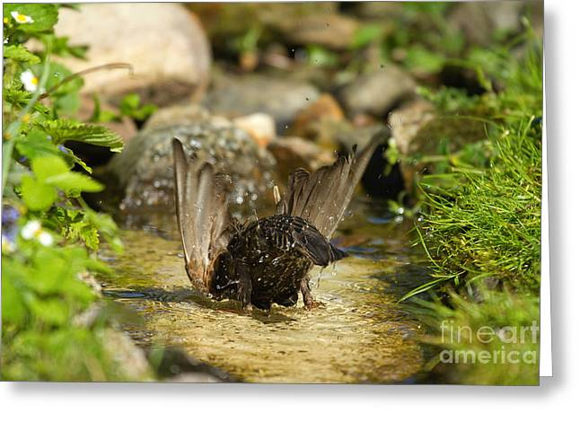 Starlings Greeting Cards - Starling Bathing Greeting Card by Helmut Pieper