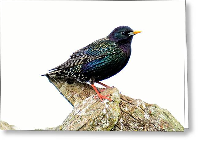 Cut-outs Mixed Media Greeting Cards - Starling Greeting Card by Toppart Sweden