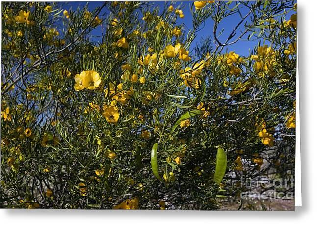 Cassia Greeting Cards - Sticky Cassia Senna Glutinosa Greeting Card by Bob Gibbons