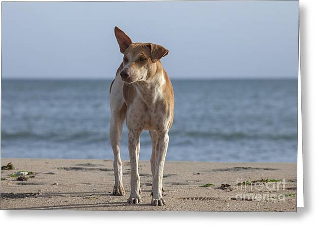 Guard Dog Greeting Cards - Stray dog on the beach Greeting Card by Patricia Hofmeester