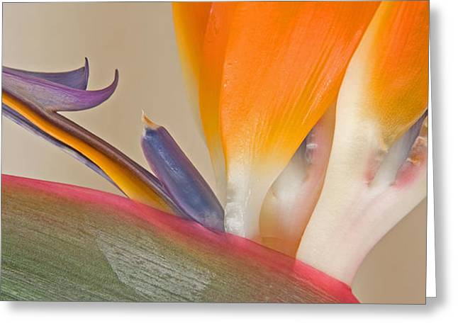 Flowers In California Greeting Cards - Strelitzia In Bloom, California, Usa Greeting Card by Panoramic Images
