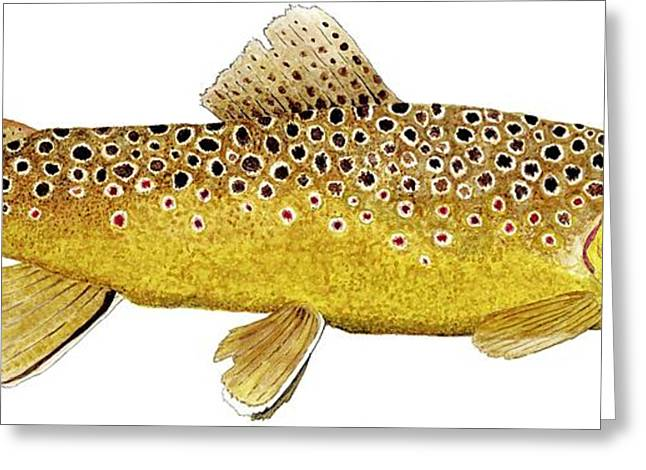Salmon Paintings Greeting Cards - Study of a Brown Trout Greeting Card by Thom Glace