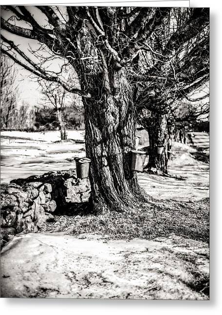 Sugaring Season Greeting Cards - Sugaring Season Greeting Card by Robert Clifford