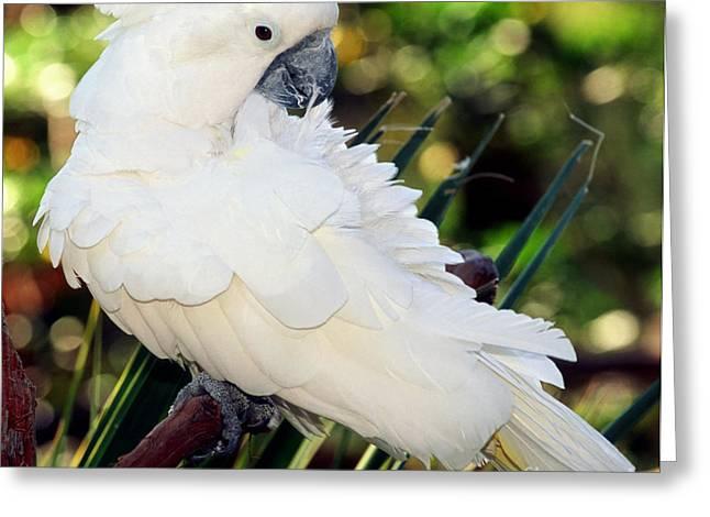 Cockatoo Greeting Cards - Sulfur-crested Cockatoo Greeting Card by Millard H. Sharp