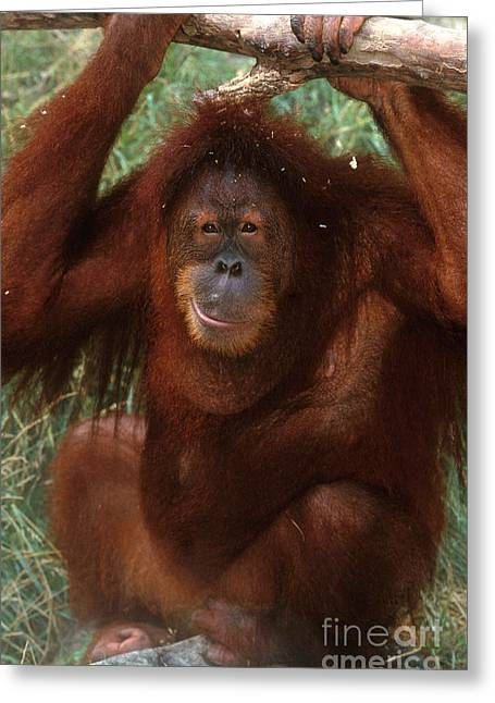 Sumatran Orang-utans Greeting Cards - Sumatran Orangutan Greeting Card by Art Wolfe