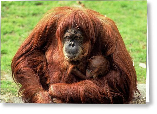 Sumatran Orangutan (pongo Abelii) Greeting Card by Photostock-israel