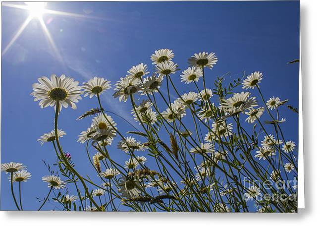 Sun Lit Daisies Greeting Card by Brian Roscorla