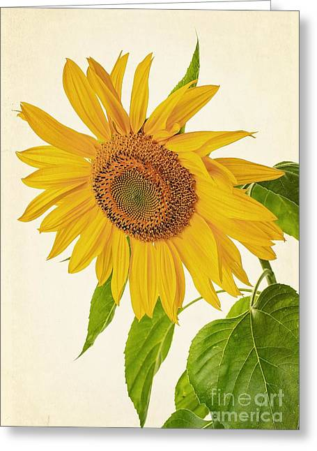 Isolated On White Greeting Cards - Sunflower Greeting Card by Edward Fielding