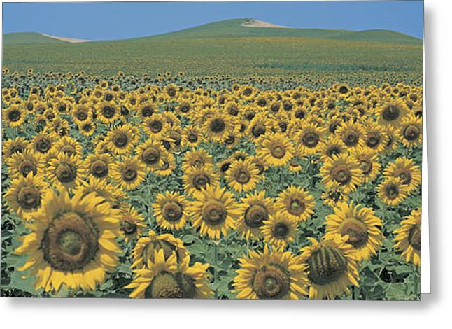 Flower Blooms Greeting Cards - Sunflower Field Andalucia Spain Greeting Card by Panoramic Images