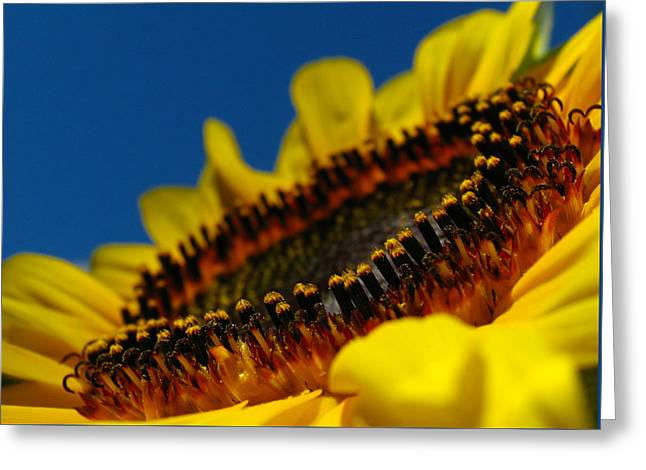 Yellow On Blue Greeting Cards - Sunflower Macro Greeting Card by Juergen Roth