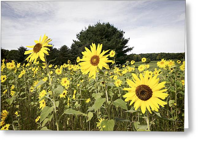 Sunflower Patch Greeting Cards - Sunflower Patch Greeting Card by Ray Summers Photography