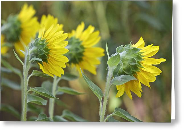 Sunflower Rear Greeting Card by David Letts