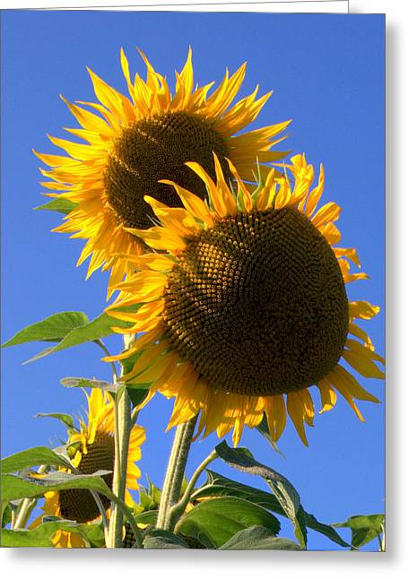 Inflorescent Greeting Cards - Sunflowers Greeting Card by Caroline Stella