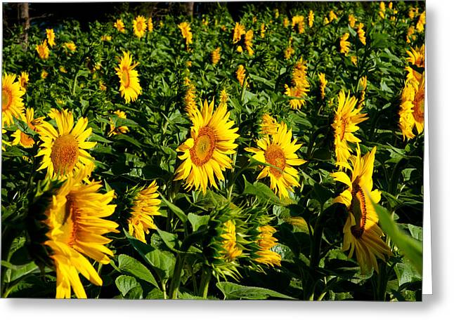 Vaucluse Greeting Cards - Sunflowers Helianthus Annuus Greeting Card by Panoramic Images