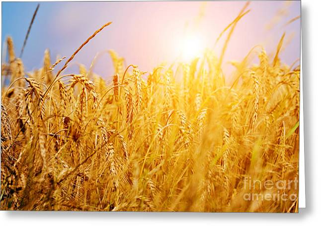 Whole Field Greeting Cards - Sunny wheat field closeup Greeting Card by Michal Bednarek