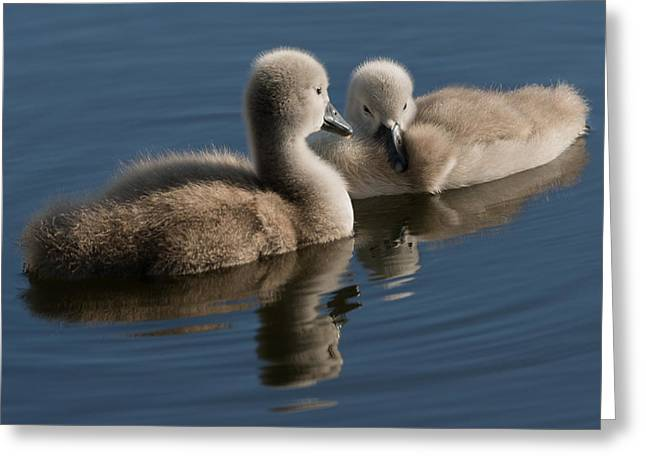 Soft Fur Greeting Cards - Swan babies Greeting Card by Michael Mogensen