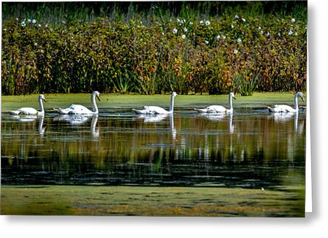 Swans... Greeting Cards - Swan Lake Greeting Card by Michael Brooks