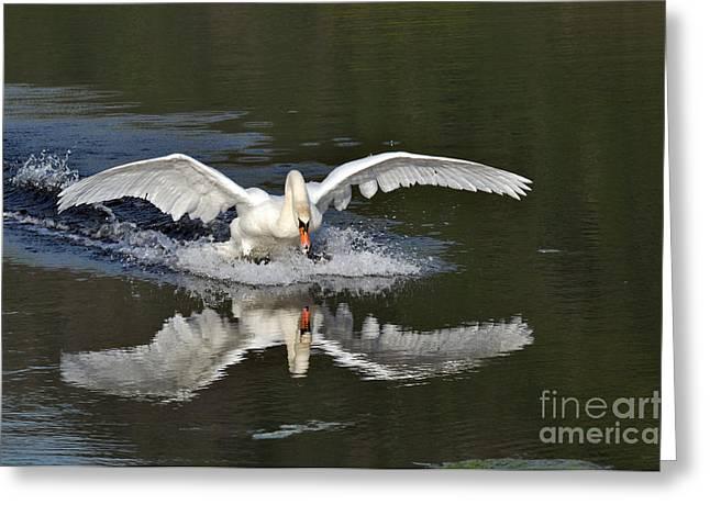 Flying Animal Greeting Cards - Swan landing Greeting Card by Simona Ghidini