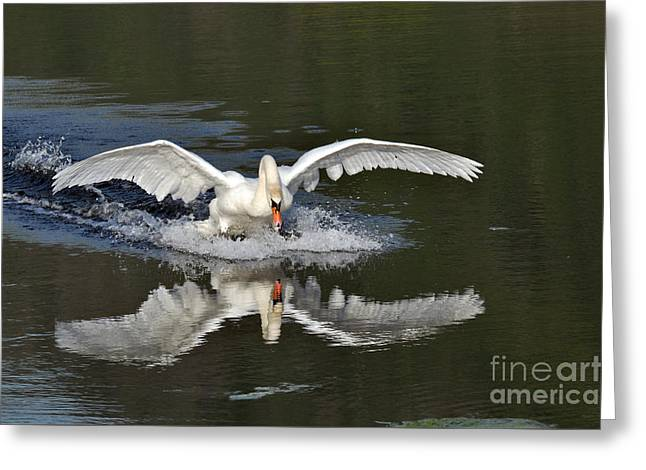 Sea Animals Greeting Cards - Swan landing Greeting Card by Simona Ghidini
