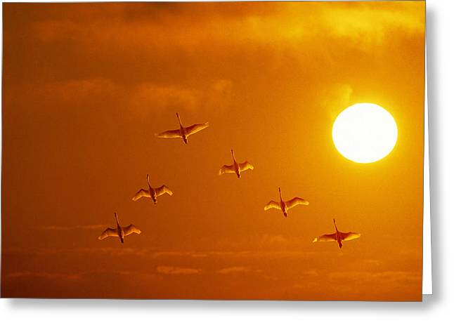 Trumpeter Silhouette Greeting Cards - Swans Flying At Sunset Composite Greeting Card by John Warden