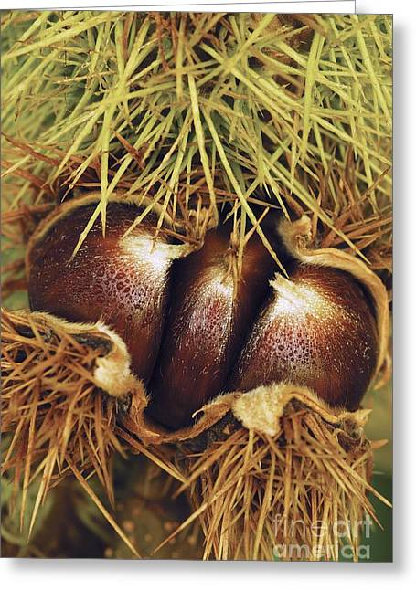 Dewdrops Greeting Cards - Sweet Chestnuts Greeting Card by Colin Varndell