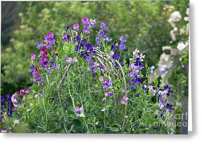 Pink Sweet Peas Greeting Cards - Sweet Peas Lathyrus Sp Greeting Card by Dr. Keith Wheeler