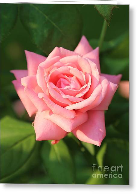 Sweet Pink Rose Greeting Card by Carol Groenen