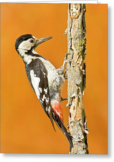 Syrian Woodpecker (dendrocopos Syriacus) Greeting Card by Photostock-israel