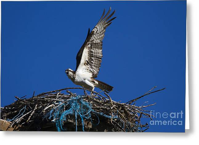 Osprey Photographs Greeting Cards - Take-Off Greeting Card by Mike  Dawson