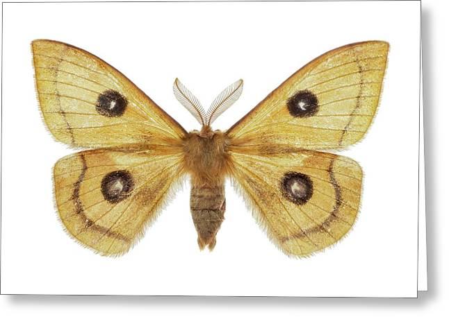Tau Emperor Moth Greeting Card by F. Martinez Clavel