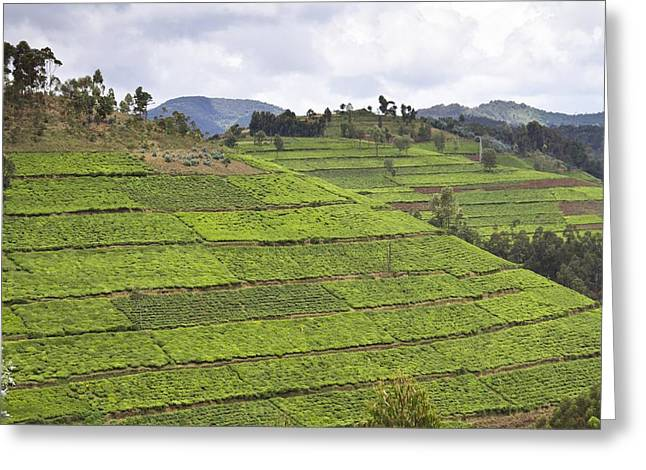 Land Use Greeting Cards - Tea plantation, Rwanda Greeting Card by Science Photo Library