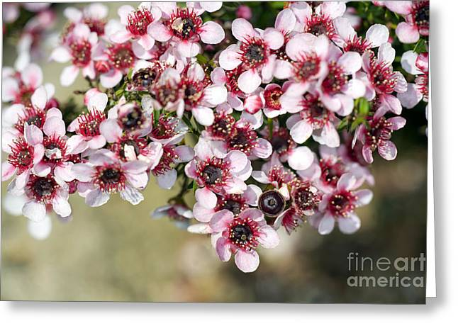 Tea Tree Flower Greeting Cards - Tea Tree Leptospermum Scoparium Greeting Card by Dr. Keith Wheeler
