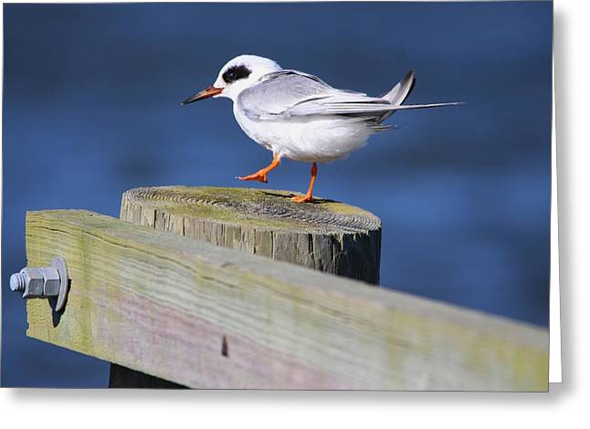Tern Digital Art Greeting Cards - Tern Greeting Card by Paulette Thomas